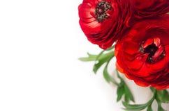 鲜红毛茛开花有绿色在软的白色木桌上的叶子顶视图 高雅春天花束 图库摄影