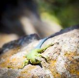 鲜绿色快速蜥蜴 库存图片