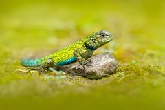 鲜绿色快速Caresheet,剌蜥蜴树malachiticus,在自然栖所 罕见的蜥蜴美丽的画象从哥斯达黎加的 Basili 免版税图库摄影