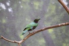 鲜绿色椋鸟科Lamprotornis虹膜 免版税库存照片