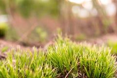 鲜绿色的丛草 免版税库存照片