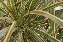 鲜绿色的丝兰植物叶子 免版税库存图片