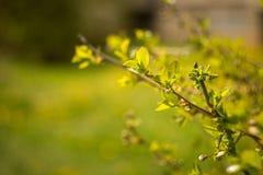鲜绿色的灌木叶子在春天 免版税库存图片