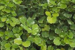 鲜绿色的灌木 免版税库存图片