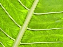 鲜绿色的热带叶子 免版税图库摄影