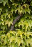 鲜绿色的爬行物藤,瓦伦纳,意大利 免版税图库摄影