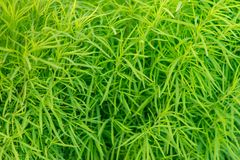 鲜绿色的稀薄的草在夏日 库存照片