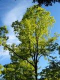 鲜绿色的结构树 图库摄影