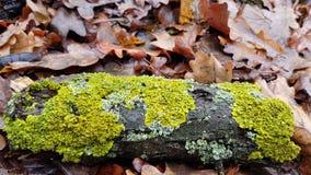 鲜绿色的青苔污点在被风化的木日志棕色树皮的  免版税库存照片