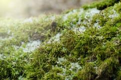 鲜绿色的青苔n一个树桩在冬天森林冬天季节性背景中 免版税图库摄影