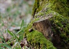 鲜绿色的青苔n一个树桩在冬天森林冬天季节性背景中 免版税库存照片