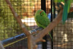 鲜绿色的鹦鹉,罗斯圈状的长尾小鹦鹉,在笼子的Psittacula krameri,囚禁 免版税库存图片