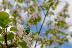 鲜绿色的5月甲虫收集花粉 免版税库存图片