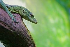 鲜绿色监控程序prasinus结构树巨晰属 免版税库存图片