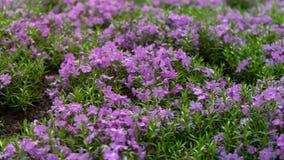 鲜绿色蓝色,紫色爬行福禄考subulata在假山庭园庭院里 免版税库存图片