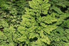 鲜绿色蕨的背景 库存图片