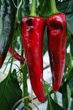 鲜美有机甜辣椒粉成长在大荷兰温室,  库存照片