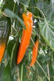 鲜美有机甜辣椒粉成长在大荷兰温室,  图库摄影