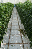 鲜美有机甜辣椒粉成长在大荷兰温室,  免版税库存照片