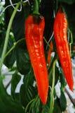 鲜美有机甜辣椒粉成长在大荷兰温室,  库存图片
