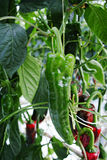鲜美有机甜辣椒粉成长在大荷兰温室,  免版税库存图片