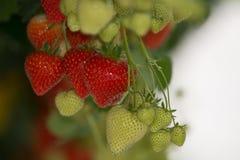 鲜美有机草莓成长在大荷兰温室, everyda 免版税库存图片