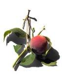 鲜美的桃子 免版税库存照片