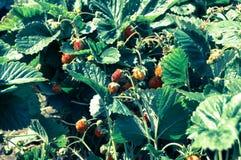鲜美的草莓 库存照片