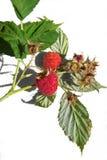 鲜美的莓 免版税图库摄影