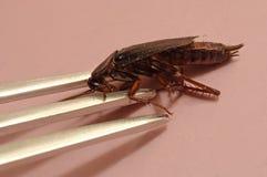 鲜美的蟑螂 库存图片