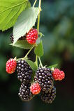 鲜美黑莓的夏天 免版税库存照片