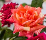 鲜花美丽明亮 库存图片
