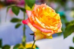 鲜花美丽明亮 免版税库存照片