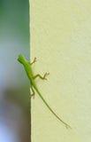 鲜绿色变色蜥蜴坐墙壁 免版税库存图片