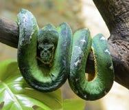 鲜绿色树蟒蛇 免版税图库摄影