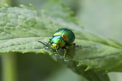 鲜绿色甲虫 免版税库存照片