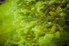 鲜绿色的云杉的树枝和针的特写镜头视图 免版税库存照片