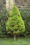 鲜绿色的加拿大云杉 免版税库存图片