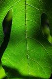 鲜绿色的无花果叶 图库摄影
