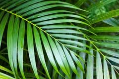 鲜绿色的棕榈树叶子,热带自然 库存照片