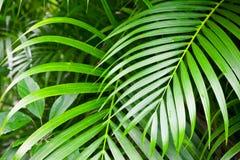 鲜绿色的棕榈树叶子,热带自然 免版税图库摄影