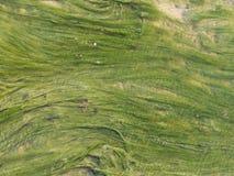 鲜绿色的海藻在水中 库存图片