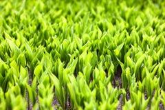 鲜绿色的草在春天 免版税图库摄影