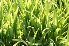 鲜绿色的草在阳光下 免版税库存照片