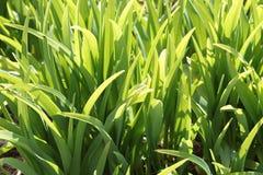 鲜绿色的草在阳光下 库存照片