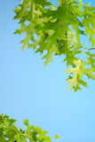 鲜绿色的赤栎离开背景 免版税库存照片