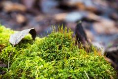 鲜绿色的青苔 库存图片