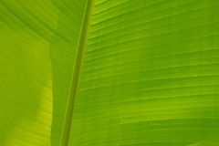鲜绿色的香蕉叶子 免版税图库摄影