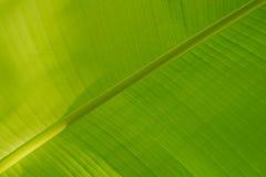 鲜绿色的香蕉叶子 图库摄影