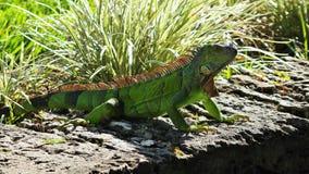 鲜绿色的鬣鳞蜥 免版税库存照片